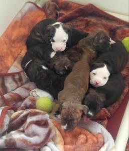 pitty pups