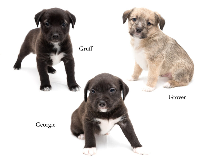 """""""G"""" Puppies- Adopted"""